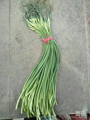 安徽宿州砀山县金乡红帽蒜苔 一茬 50~60cm 通货