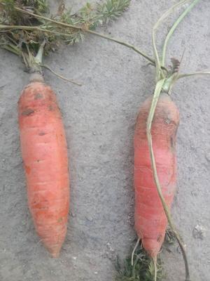安徽亳州谯城区三红胡萝卜 15cm以上 4两以上 5cm以上