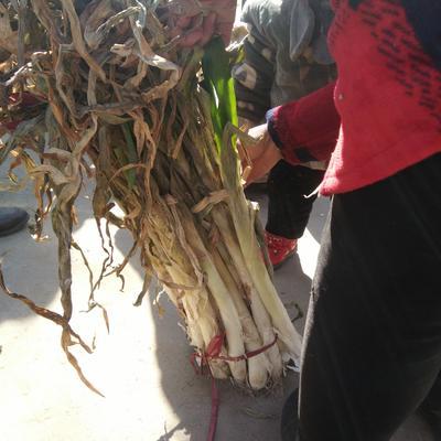 河南安阳滑县长白大葱 3cm左右 40cm以上 毛葱