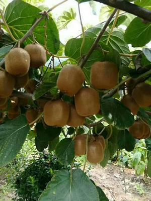 陕西西安周至县周至猕猴桃 60~100克