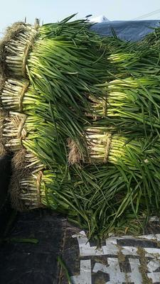 江苏泰州兴化市分葱大葱 1cm左右 25~30cm 净葱