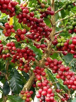 云南思茅思茅区云南小粒咖啡豆