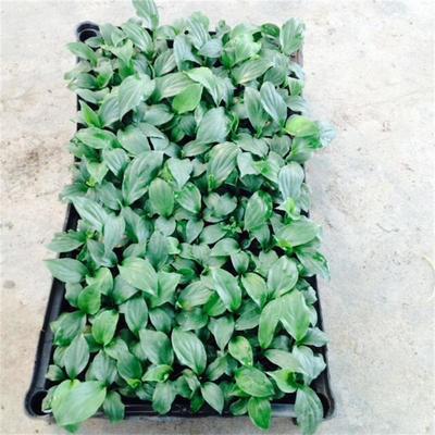 广东广州荔湾区绿巨人盆栽