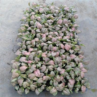 广东广州荔湾区红粉佳人合果芋盆栽