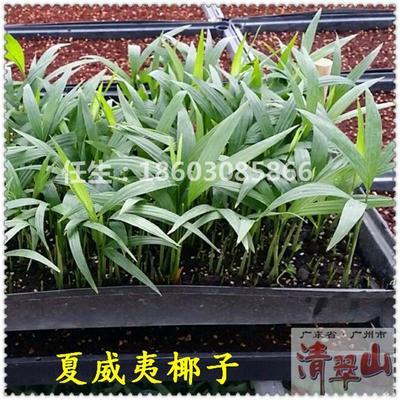 广东广州荔湾区夏威夷椰子盆栽