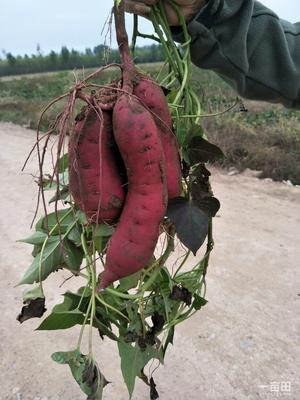 山西晋中榆次区黄心红薯 红皮 3两以上