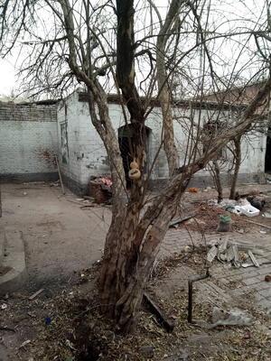 河北省石家庄市晋州市造型石榴树