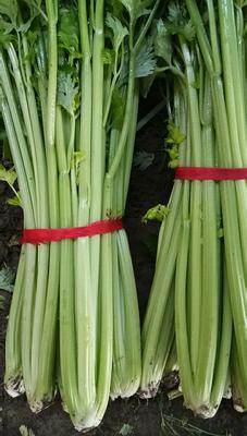 河南省周口市西华县皇妃芹菜 55~60cm 大棚种植 0.5~1.0斤