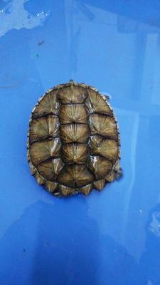 广东茂名电白区鳄龟 10-20cm 4-6斤