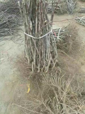 山东泰安岱岳区大果山楂苗