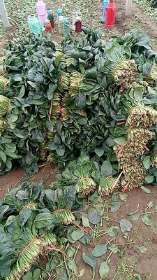 山东泰安泰山区越冬菠菜 20~25cm