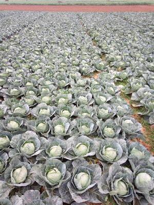 云南红河泸西县铁头圆包菜 1.0~1.5斤