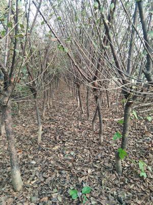 河北石家庄平山县晚樱 4公分以下 0.5~1米
