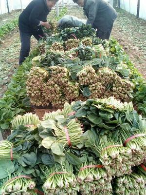 山东泰安泰山区大叶菠菜 25~30cm