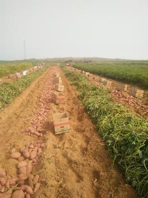 山东临沂莒南县苏薯八号红薯 红皮 3两以上