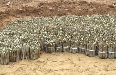 河北沧州泊头市杨树种条插穗