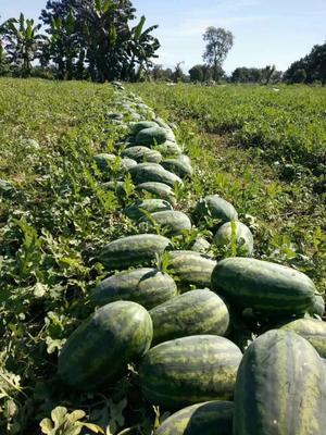 云南德宏瑞丽市p2西瓜 有籽 1茬 8成熟 15斤打底