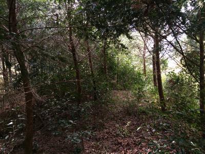 湖南郴州汝城县南方红豆杉 1~1.5米