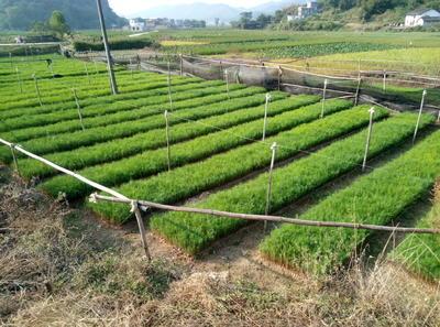 广西壮族自治区桂林市荔浦县湿地松容器苗