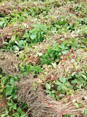 山东省泰安市岱岳区爬山虎 1~1.5米 1公分以下