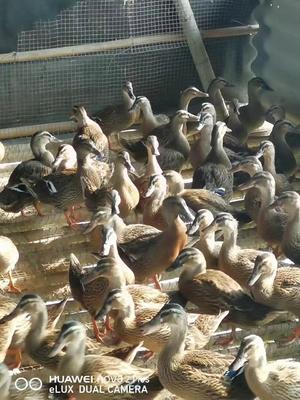 广东省广州市花都区斑嘴鸭 2-3斤