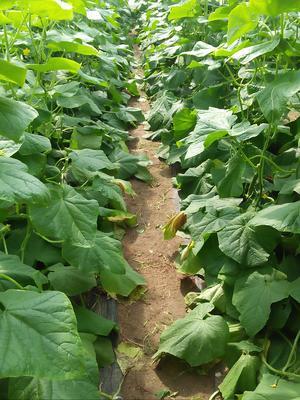 山东潍坊寿光市小黄瓜 18cm以下 鲜花带刺