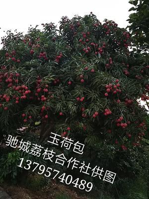 四川泸州合江县桂味荔枝 1.5cm