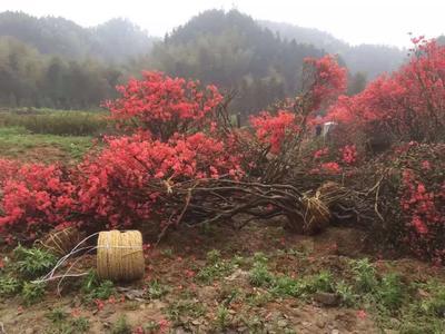 安徽安庆太湖县映山红 1.5~2.0米