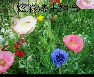 江苏宿迁沭阳县黄菊花种子