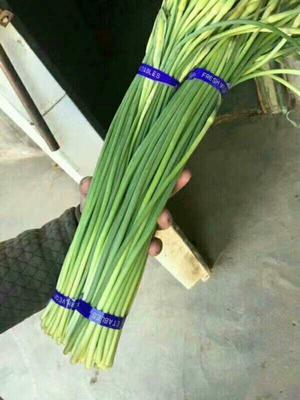 山东临沂沂南县红帽蒜薹 一茬 30~40cm 通货