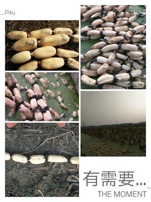 江苏连云港东海县美人红莲藕 7-9cm 15~20cm
