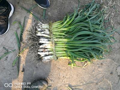 江苏泰州兴化市分葱大葱 2cm左右 25~30cm 净葱