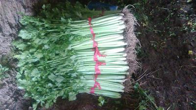 山东省泰安市宁阳县美国西芹 60cm以上 大棚种植 0.5~1.0斤