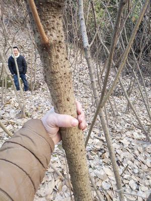 重庆开县金钟梅 2.5~3米