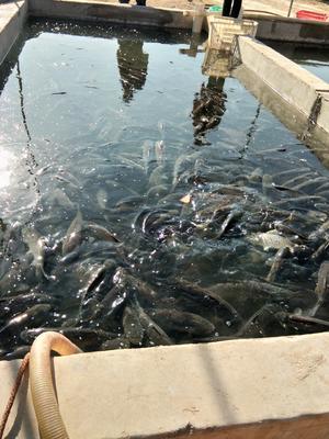河北保定定州市池塘草鱼 人工养殖 0.5-3龙8国际官网官方网站