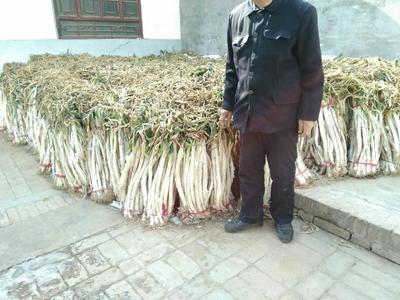 陕西渭南合阳县长白大葱 3cm左右 40cm以上 毛葱