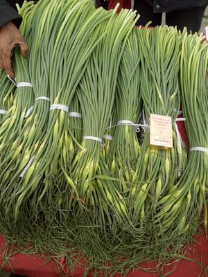 陕西西安长安区白帽蒜薹 一茬 70cm以上 通货