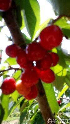 山东青岛平度市黄蜜樱桃 10-15mm 8-12g