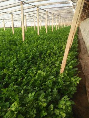 河北省沧州市沧县美国西芹 50~55cm 大棚种植 0.5~1.0斤