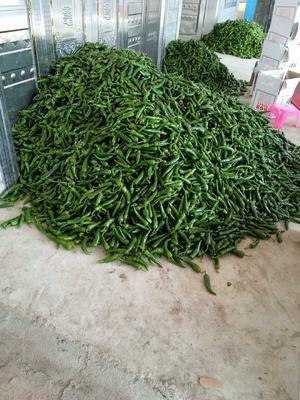 海南海口龙华区螺丝椒 20cm以上 中辣