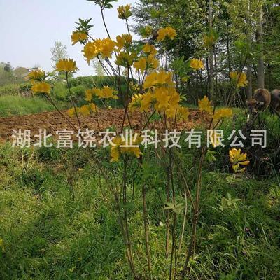 湖北随州曾都区羊踯躅 1~1.5米