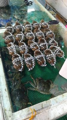 江苏常州溧阳市长荡湖大闸蟹 2.0两以下 母蟹