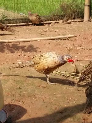 广西钦州灵山县七彩山鸡 2-3斤