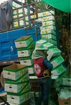 云南红河金平苗族瑶族傣族自治县巴西香蕉 七成熟 40 - 50斤