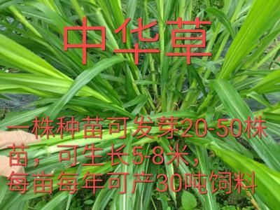 广西梧州长洲区中华牧草