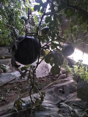 甘肃武威凉州区华欣西瓜 有籽 1茬 10成熟 3斤打底
