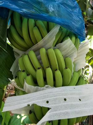 云南西双版纳勐海县西双版纳香蕉 七成熟 70斤以上