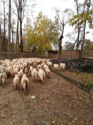 青海海东循化撒拉族自治县绒山羊 80-110斤
