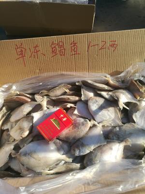 山东省日照市岚山区银鲳鱼 野生 0.5公斤以下