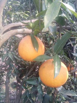 四川达州渠县脐橙 6-7cm 3两以上